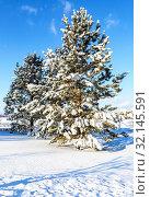 Купить «Beautiful pine-trees covered with snow in winter», фото № 32145591, снято 20 января 2019 г. (c) FotograFF / Фотобанк Лори