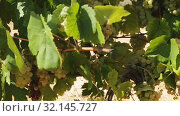 Close up view of ripe grapes in vineyard with blurred background. Стоковое видео, видеограф Яков Филимонов / Фотобанк Лори