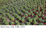 Купить «Picture of seedlings of tomatoes growing in pots in greenhouse, nobody», видеоролик № 32145731, снято 26 апреля 2019 г. (c) Яков Филимонов / Фотобанк Лори