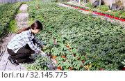 Chinese woman gardener working with tomato seedlings in greenhouse. Стоковое видео, видеограф Яков Филимонов / Фотобанк Лори