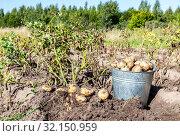 Купить «Freshly dug organic potatoes of new harvest», фото № 32150959, снято 24 августа 2018 г. (c) FotograFF / Фотобанк Лори