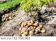Купить «Freshly dug organic potatoes of new harvest», фото № 32150963, снято 24 августа 2018 г. (c) FotograFF / Фотобанк Лори