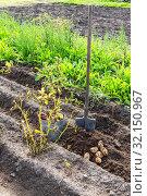 Купить «Freshly dug organic potatoes of new harvest», фото № 32150967, снято 25 августа 2018 г. (c) FotograFF / Фотобанк Лори
