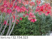 Купить «Темно-красные яркие осенние листья на фоне зеленой сочной хвои невысоких елей. Осень в парке», фото № 32154323, снято 6 октября 2018 г. (c) Наталья Николаева / Фотобанк Лори