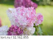 Гортензия метельчатая. Hydrangea paniculata. Стоковое фото, фотограф Ирина Носова / Фотобанк Лори