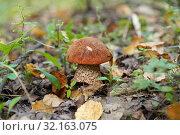 Купить «Гриб подосиновик среди травы и листьев», эксклюзивное фото № 32163075, снято 1 сентября 2019 г. (c) Dmitry29 / Фотобанк Лори