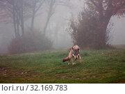 Купить «Wolf ready to attack in a foggy forest», фото № 32169783, снято 7 июня 2020 г. (c) easy Fotostock / Фотобанк Лори