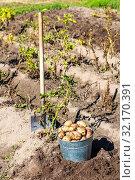 Купить «Freshly dug organic potatoes of new harvest», фото № 32170391, снято 24 августа 2018 г. (c) FotograFF / Фотобанк Лори