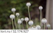 Купить «Bolls of ripe poppy sway . Using narcotic plants for decoration in countryside», видеоролик № 32174927, снято 10 августа 2019 г. (c) Ирина Мойсеева / Фотобанк Лори