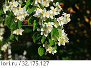 Beautiful white flowers mock orange close up. Philadelphus. Стоковое фото, фотограф Сергей Трофименко / Фотобанк Лори