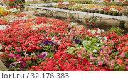 Купить «Flowering plants fern cultivated in modern orangery», видеоролик № 32176383, снято 26 мая 2019 г. (c) Яков Филимонов / Фотобанк Лори