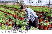 Купить «Chinese woman caring for mint plant in a greenhouse», видеоролик № 32176467, снято 17 октября 2019 г. (c) Яков Филимонов / Фотобанк Лори
