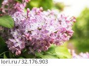 Купить «Lilac flowers», фото № 32176903, снято 14 мая 2019 г. (c) Юлия Бабкина / Фотобанк Лори