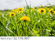 Купить «Spring natural background. Meadow with green grass and yellow dandelions», фото № 32176907, снято 17 мая 2019 г. (c) Юлия Бабкина / Фотобанк Лори