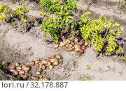 Купить «Freshly dug organic potatoes of new harvest», фото № 32178887, снято 24 августа 2018 г. (c) FotograFF / Фотобанк Лори