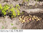 Купить «Freshly dug organic potatoes of new harvest», фото № 32178891, снято 24 августа 2018 г. (c) FotograFF / Фотобанк Лори