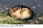 Бездомная собак спит на газоне. Стоковое фото, фотограф Евгений Будюкин / Фотобанк Лори