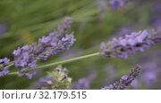 Купить «Lavender sways in the wind. Blooming Violet fragrant lavender flowers.», видеоролик № 32179515, снято 10 августа 2019 г. (c) Ирина Мойсеева / Фотобанк Лори