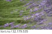 Купить «Lavender sways in the wind. Blooming Violet fragrant lavender flowers.», видеоролик № 32179535, снято 10 августа 2019 г. (c) Ирина Мойсеева / Фотобанк Лори