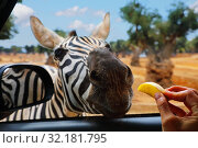 Купить «Zebra eats apple out of hand», фото № 32181795, снято 9 августа 2019 г. (c) Алексей Кузнецов / Фотобанк Лори