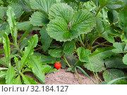 Садовая земляника на кустах. Стоковое фото, фотограф Сергей Краснощеков / Фотобанк Лори