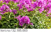 Купить «Pink decorative phlox flowers sway in the wind», видеоролик № 32185003, снято 17 сентября 2019 г. (c) FotograFF / Фотобанк Лори