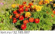 Купить «Decorative flowers sway in the wind», видеоролик № 32185007, снято 17 сентября 2019 г. (c) FotograFF / Фотобанк Лори