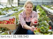 Купить «Female gardener in apron picking harvest of fresh strawberries in hothouse», фото № 32188543, снято 9 апреля 2019 г. (c) Яков Филимонов / Фотобанк Лори
