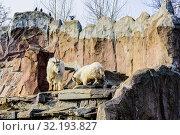 Семейство снежных козлов парнокопытных (лат. Oreamnos americanus) в Московском зоопарке. Россия. Стоковое фото, фотограф Владимир Устенко / Фотобанк Лори