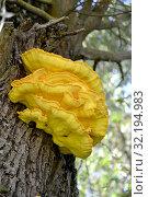 Гриб трутовик серно-жёлтый (Laetiporus sulphureus (Bull.) Murrill) на стволе дерева. Стоковое фото, фотограф Ирина Борсученко / Фотобанк Лори