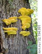 Колония грибов трутовиков серно-жёлтых (Laetiporus sulphureus (Bull.) Murrill) на дереве. Стоковое фото, фотограф Ирина Борсученко / Фотобанк Лори