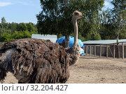 """Купить «Африканский страус в контактном зоопарке """"Страусиное ранчо"""" в Барнауле», фото № 32204427, снято 29 августа 2019 г. (c) Free Wind / Фотобанк Лори"""