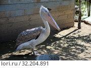 """Купить «Пеликан в контактном зоопарке """"Страусиное ранчо"""" в Барнауле», фото № 32204891, снято 29 августа 2019 г. (c) Free Wind / Фотобанк Лори"""