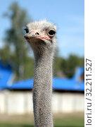 """Купить «Африканский страус в контактном зоопарке """"Страусиное ранчо"""" в Барнауле», фото № 32211527, снято 29 августа 2019 г. (c) Free Wind / Фотобанк Лори"""