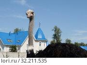 """Купить «Африканский страус в контактном зоопарке """"Страусиное ранчо"""" в Барнауле», фото № 32211535, снято 29 августа 2019 г. (c) Free Wind / Фотобанк Лори"""