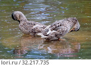 Купить «Две утки выгнув шеи чистят перья в пруду», фото № 32217735, снято 17 июля 2019 г. (c) Румянцева Наталия / Фотобанк Лори