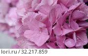 Купить «Pink flowers of hydrangea close-up. shallow DOF», видеоролик № 32217859, снято 10 августа 2019 г. (c) Ирина Мойсеева / Фотобанк Лори