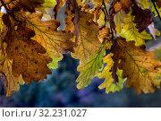 Купить «Крупным планом пожелтевшие листья дуба в парке», фото № 32231027, снято 28 сентября 2019 г. (c) Николай Винокуров / Фотобанк Лори