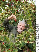 Купить «The gray-haired man likes to collect hawthorn in the garden.», фото № 32246099, снято 26 сентября 2016 г. (c) Акиньшин Владимир / Фотобанк Лори