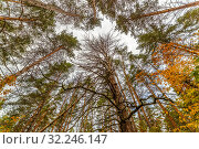Купить «A view from below upwards on the crowns of coniferous trees in the autumn forest.», фото № 32246147, снято 8 октября 2016 г. (c) Акиньшин Владимир / Фотобанк Лори