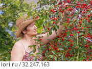 A beautiful mature woman gathers cherries in her summer cottage on the evening sunset. Стоковое фото, фотограф Акиньшин Владимир / Фотобанк Лори
