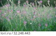 Купить «Beautiful wild heather in the meadow», видеоролик № 32248443, снято 20 августа 2019 г. (c) Володина Ольга / Фотобанк Лори