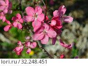 Купить «Цветущая яблоня с яркими розовыми цветками», эксклюзивное фото № 32248451, снято 21 мая 2015 г. (c) lana1501 / Фотобанк Лори