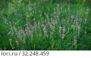 Купить «Beautiful wild field grass with pink flowers», видеоролик № 32248459, снято 3 октября 2019 г. (c) Володина Ольга / Фотобанк Лори