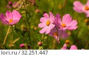 Купить «The Beautiful large pink daisies outdoors», видеоролик № 32251447, снято 30 июля 2019 г. (c) Володина Ольга / Фотобанк Лори