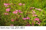 Купить «The Beautiful large pink daisies outdoors», видеоролик № 32251451, снято 30 июля 2019 г. (c) Володина Ольга / Фотобанк Лори
