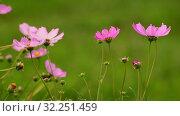Купить «The Beautiful large pink daisies outdoors», видеоролик № 32251459, снято 4 октября 2019 г. (c) Володина Ольга / Фотобанк Лори