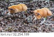 Африканская кистеухая (речная) свинья Red River Hog. Стоковое фото, фотограф Галина Савина / Фотобанк Лори