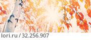 Купить «Hanging yellow birch leaves in the sun», фото № 32256907, снято 5 октября 2019 г. (c) Икан Леонид / Фотобанк Лори