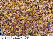Купить «Пестрый фон из ярких осенних опавших листьев», фото № 32257159, снято 7 октября 2019 г. (c) Владимир Сергеев / Фотобанк Лори